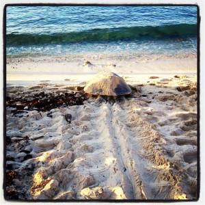 Turtle, Akumal, MX